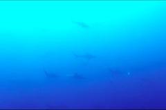 Du khách lặn biển ở Australia bị hàng trăm con cá mập vây quanh