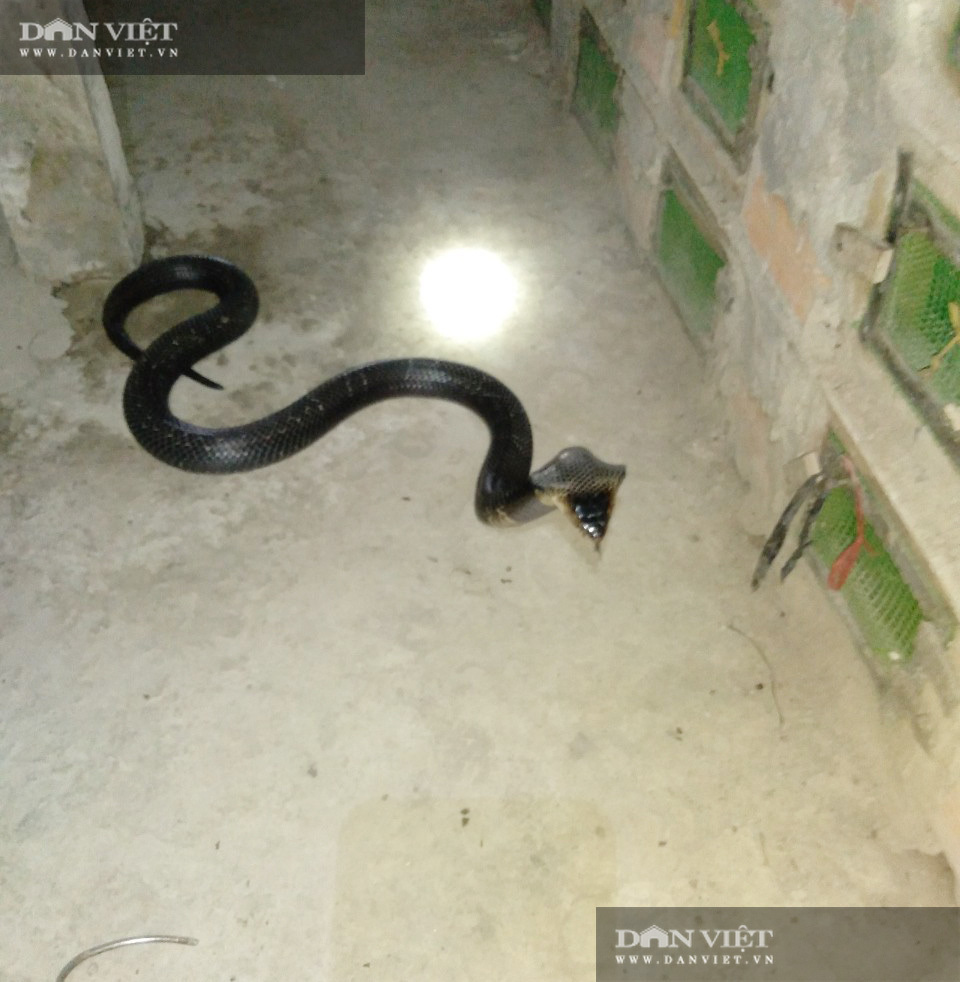Một ông nông dân nuôi hàng chục nghìn con rắn hổ mang, cứ bán 1 con lời 1 triệu, dân xem khiếp vía