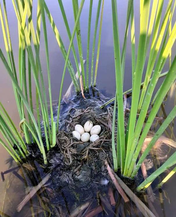 Trứng loài chim hoang dã giống như vịt, 50 ngàn/quả vẫn không có bán