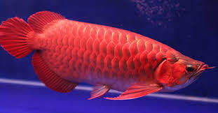 Cá huyết long siêu đẹp, giá 500 triệu ở Sài Gòn