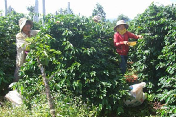 Chuyện xây dựng thương hiệu cho nông phẩm ở miền núi Sông Hinh