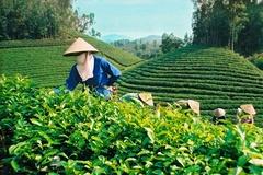 NTM Thái Nguyên: Chuyển đổi từ chè thông thường sang chè VietGAP