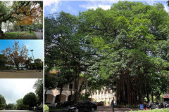Green trees, a part of Hanoi's soul
