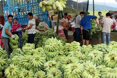 Giá chuối xanh tăng mạnh vì Trung Quốc thu mua tích trữ dịp cuối năm