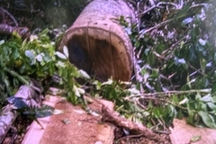 Quảng Nam khởi tố vụ phá rừng phòng hộ quy mô lớn