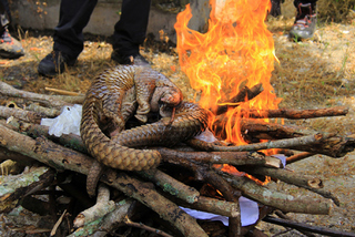 USAID triển khai chiến dịch bảo vệ voi và tê tê tại Việt Nam