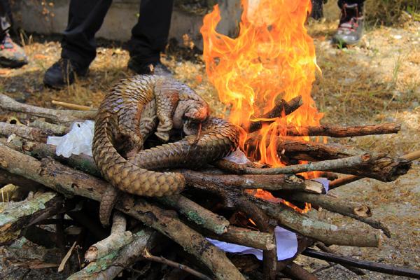 USAID phát động chiến dịch bảo vệ voi và tê tê ở Việt Nam