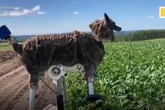 Xem nông dân Nhật dùng sói máy canh giữ hoa màu