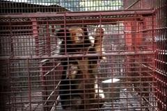 More bears in Vietnam rescued