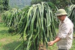 Người đàn ông biến 'vùng đất chết' thành vựa thanh long lớn nhất Nghệ An