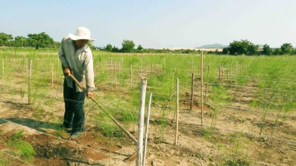 Nông dân Ninh Thuận giàu nhờ 'rau hoàng đế'