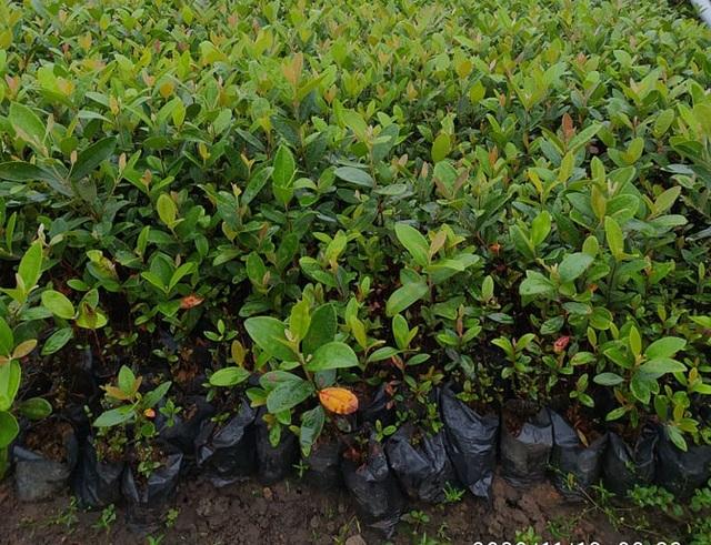 Bỏ việc về quê trồng cây không ai thèm lấy, cử nhân thu đều 4 tỷ đồng/năm