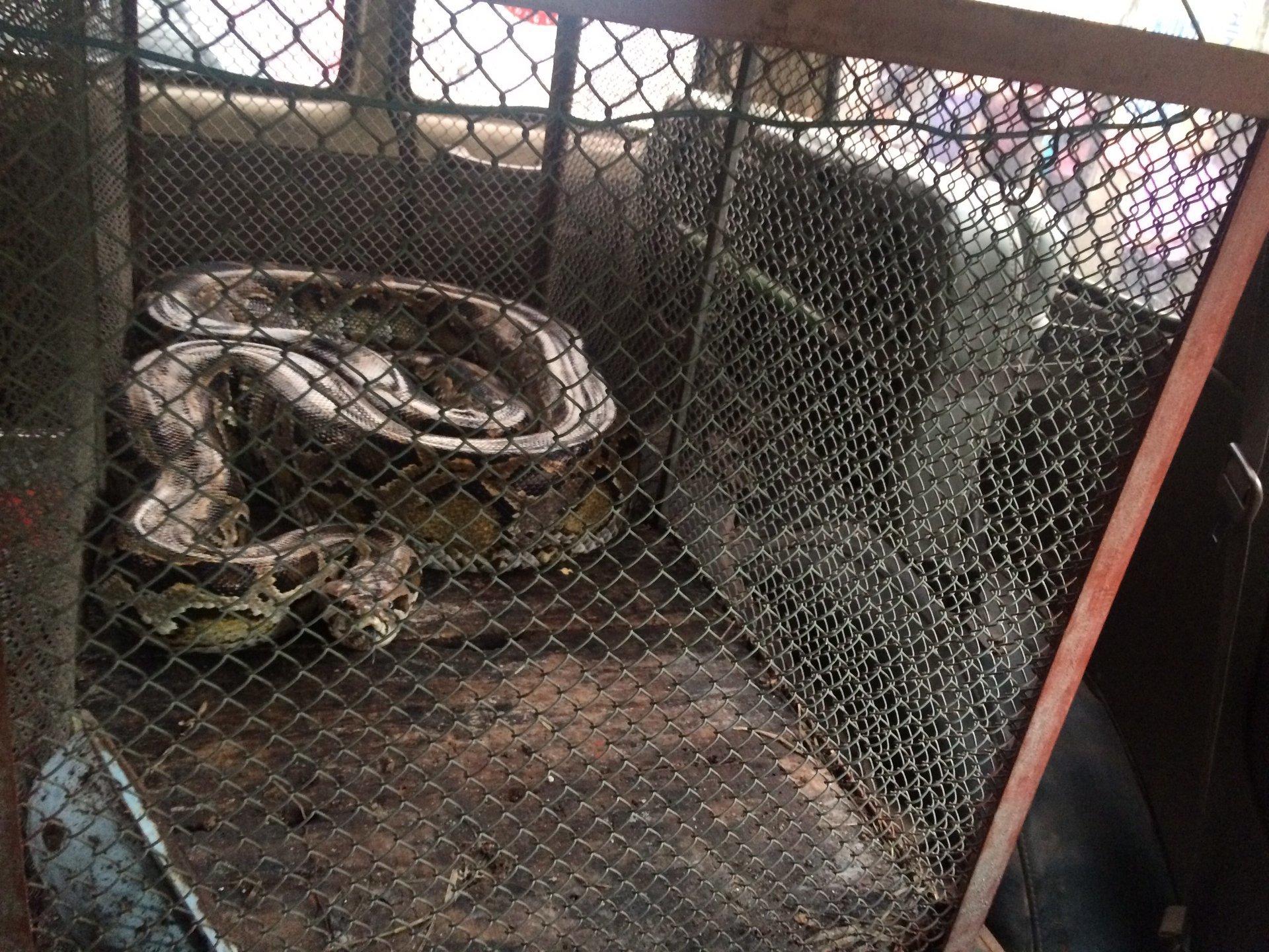 Thăm đồng, nông dân ở Hà Tĩnh bắt được trăn gấm nặng 35kg