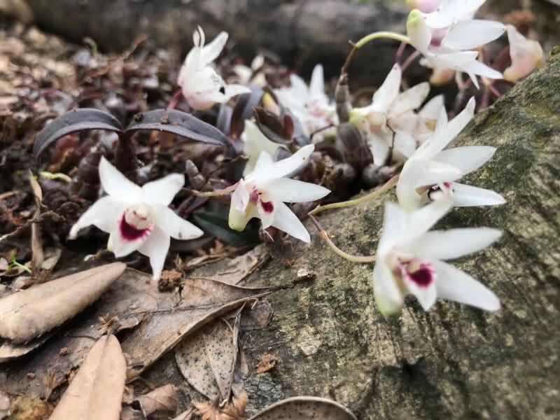 Lần đầu tiên tìm thấy hoa lan Hoàng Thảo Thạch Hộc Tía đột biến ở vực thẳm