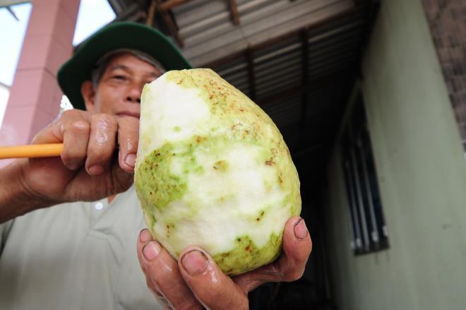 Đã mắt với vườn ổi quả nặng tới 1,5kg của lão nông miền Tây