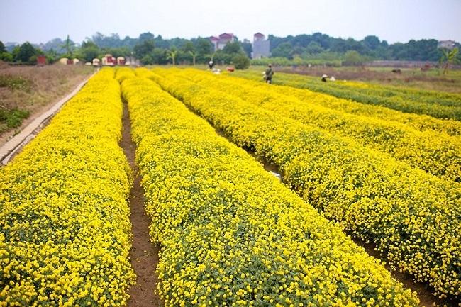 Bông hoa bé bằng cúc áo dùng làm thuốc, pha trà có giá bán tới 800.000 đồng/kg thumbnail