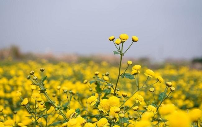 Bông hoa bé bằng cúc áo dùng làm thuốc, pha trà có giá bán tới 800.000 đồng/kg