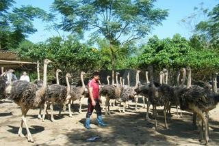 Nuôi chim 'siêu to khổng lồ', một nông dân tỉnh Hà Giang bán 1 lứa thu hơn 1 tỷ đồng