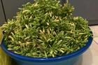 Hoa đu đủ đực: Từng là thứ vứt đi, nay thành hàng hiếm, bán tiền triệu