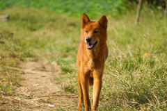 Revive the rare and famous Vietnamese hunting dog breed