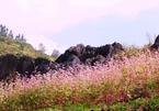 Hoa tam giác mạch Hà Giang nở rộ khiến du khách mê mải quên lối về