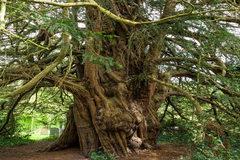 Kỳ lạ cây đại thụ cao gần 17 m 'chuyển giới' sau 3.000 năm