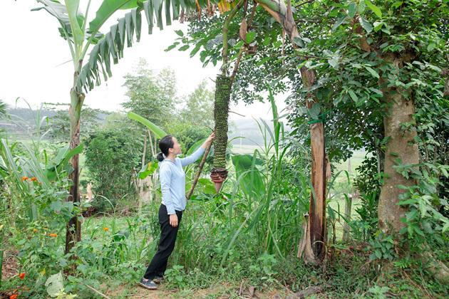 Dân cả 1 vùng kéo đến xem buồng chuối hơn 100 nải ở Hương Sơn