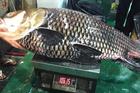 Cá hô 'khủng' nặng hơn 100kg vẫn bán công khai bất chấp lệnh cấm