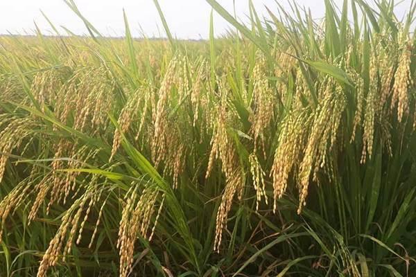 Ký kết nhiều hiệp định thương mại mang tầm chiến lược giúp thương hiệu gạo Việt Nam được biết đến nhiều hơn