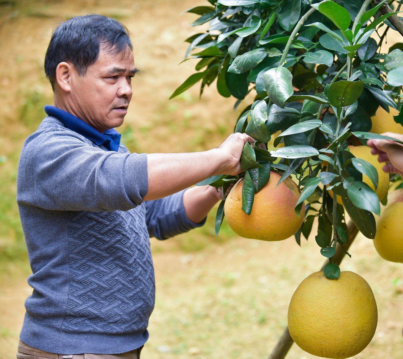 Bưởi 'tiến vua', nửa triệu đồng một quả, nông dân không có đủ hàng để bán