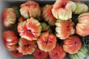 Nhìn xấu lạ, loại cà chua cổ ở Sơn La lại siêu đắt khách
