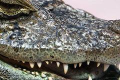 Chim diệc bé nhỏ nuốt chửng cả con cá sấu