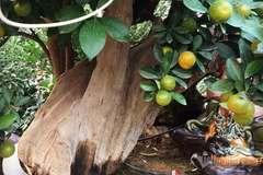 Thân cây xác khô đẻ trăm quả vàng, đại gia rút tiền mua chơi Tết sớm