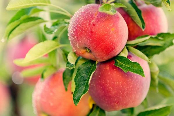 Tại sao nói: 'Ăn một quả táo mỗi ngày giúp bạn luôn khỏe mạnh'
