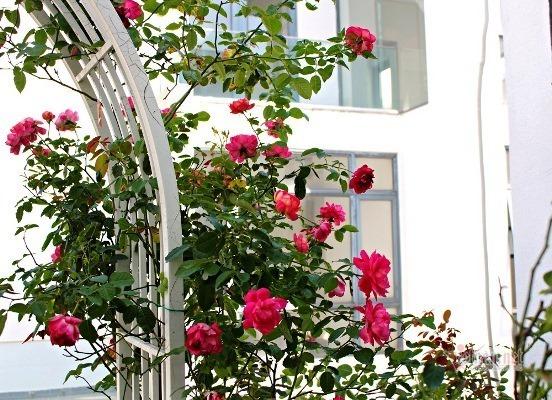Ông chủ tiết lộ cách chăm vườn hồng cổ bạc tỷ giữa TP.HCM
