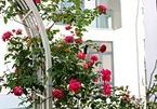 Chủ nhân tiết lộ cách chăm sóc vườn hồng bạc tỷ giữa lòng Sài Gòn