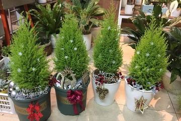 Tùng thơm mini giống hệt cây thông đắt khách Noel 2020