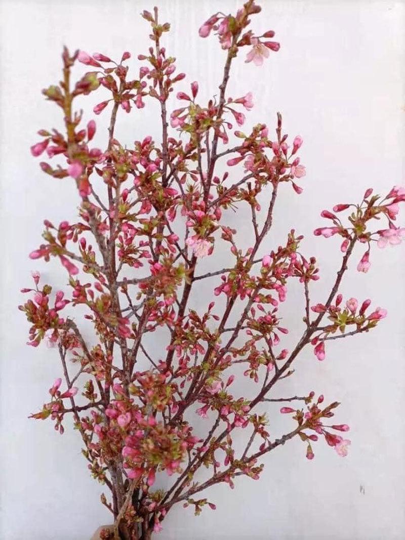 Mốt năm nay, dân Hà thành chơi hoa anh đào Trung Quốc