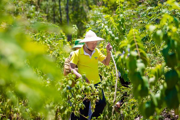 Triso Group khôi phục và phát triển sản phẩm từ cây Sâm Báo