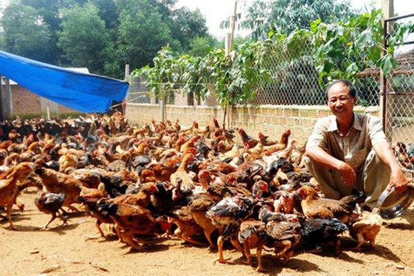 Nuôi gà ta thả đồi đếm không xuể, một ông nông dân được UBND tỉnh Bình Định đề nghị Thủ tướng tặng Huân chương