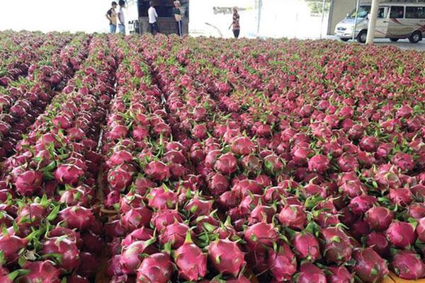 Diện tích trồng thanh long Trung Quốc tăng hơn 10 lần, xuất khẩu của Việt Nam sẽ gặp khó