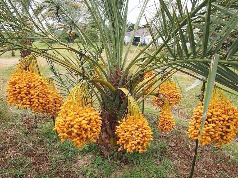 Vườn chà là trĩu trái, vàng óng của lão nông Đồng Tháp