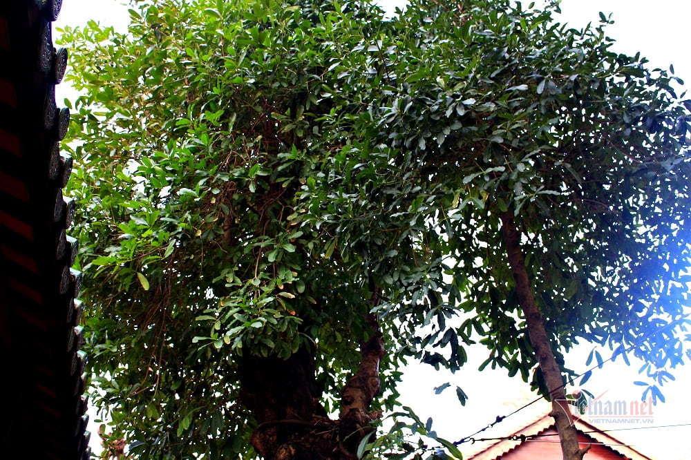 Cây bạch mai trăm tuổi 'từ linh khí sinh ra', quý hiếm bậc nhất Sài Gòn