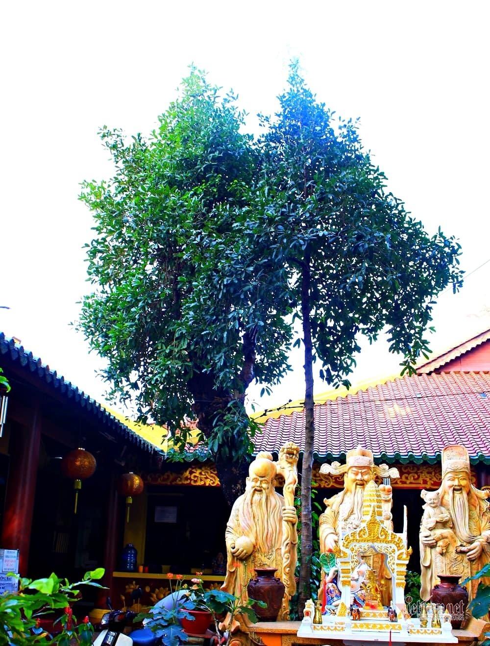Cây mai trắng trăm tuổi 'sinh ra từ linh khí', hiếm nhất Sài Gòn