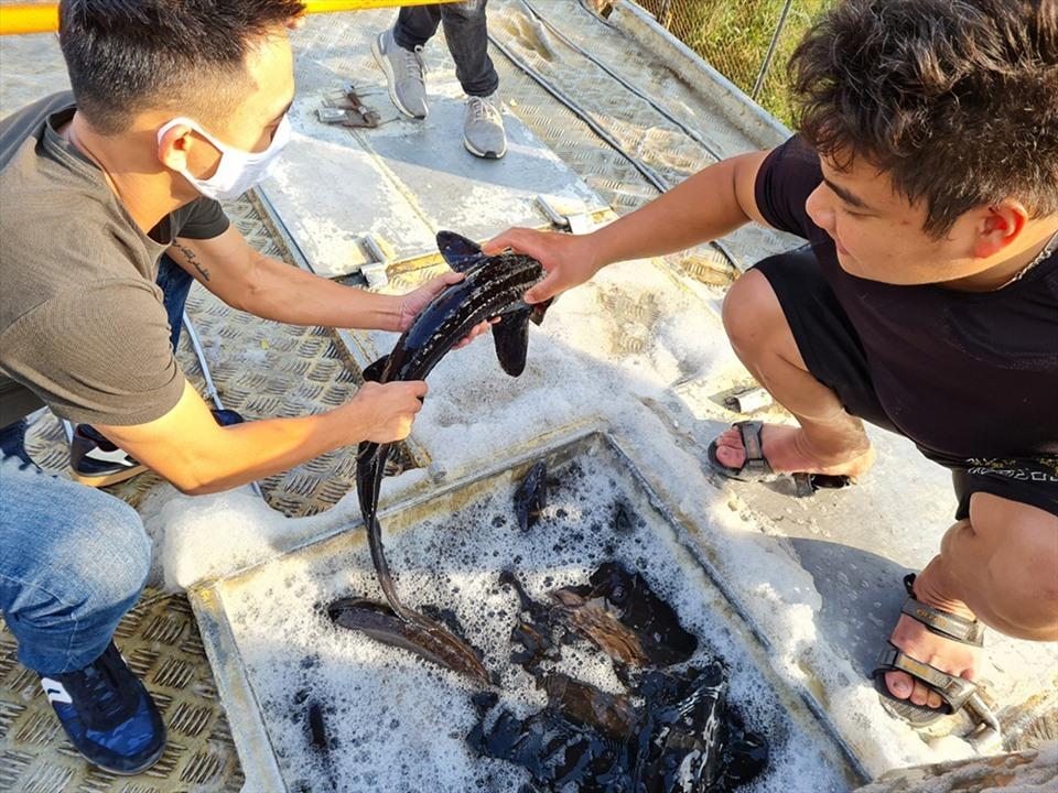 Nguy cơ 'vỡ trận' cá tầm Việt: Lao đao bên hồ cá cạn