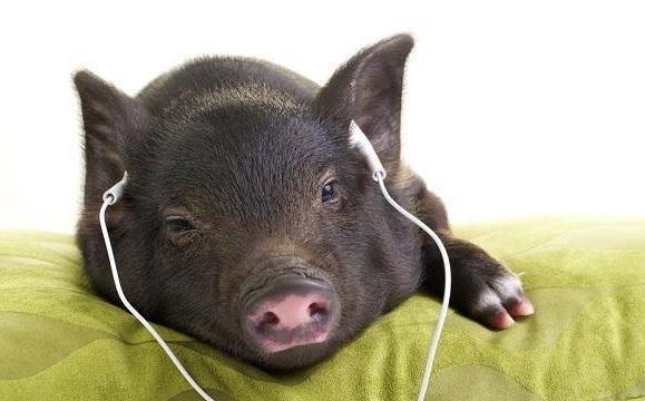Nuôi lợn 'hoàng gia' nghe nhạc Pháp, ngắm hoa hồng, lợi nhuận hàng trăm triệu mỗi năm