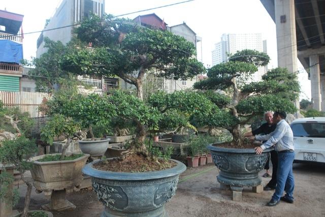 Cận cảnh những 'lão ngâu' bonsai hiếm có, giá trăm triệu đồng không bán