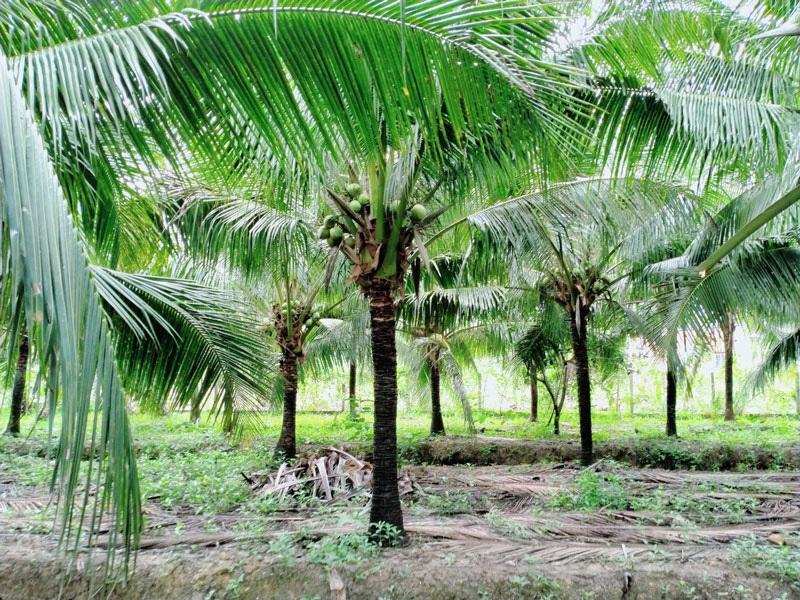 Siêu thị nước ngoài đặt mua 10 triệu trái dừa/năm, tìm 'mỏi mắt' không đủ