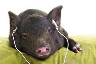 Chuyện lạ Hà Nội, lợn nghe nhạc Pháp, ăn no ngắm hoa hồng