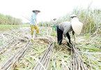 When sugarcanes lose commercial cane sugar
